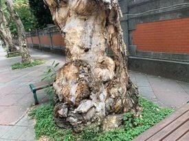 一棵確診的路樹